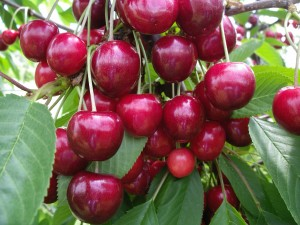 Fricktaler Obstproduzenten - © Verein Aargauer Obstproduzenten