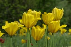 Tulip orbit, Grengiols