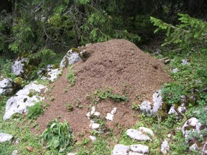 Busy wood ants