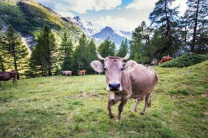 Z'Alp ga - Käseproduktion früher und heute - © all rights reserved