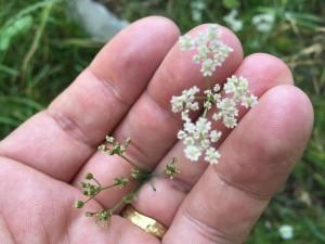 Plantes médicinales Chasseral