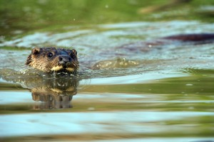 Pro Natura : Aufgetaucht! Der Fischotter und die Schweiz - © shutterstock / David M. Hunt