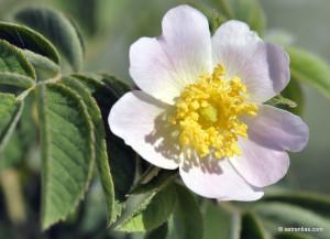 Wildrosenexkursion - von Blüten, Düften und Hagebutten - © Astrantias