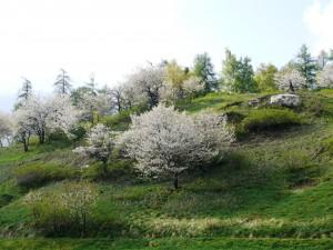 Der Hochstammobstbaum: Lebensraum & Obstlieferant (Zyklus 2)