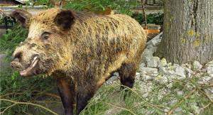 Wildschweine – Biologie & Jagd