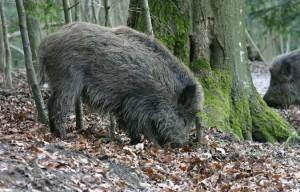 Tieranlage Wildschwein - © Wildnispark Zürich