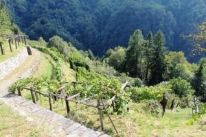 Vignobles terrassés de Loco