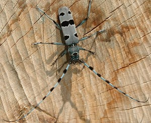 The alpine longhorn beetle - theme trail