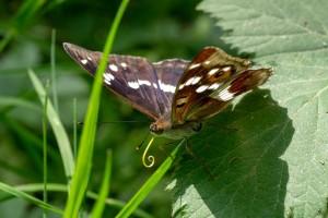 Les papillons du Jorat