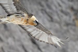 Greifvögel im Val Tuors