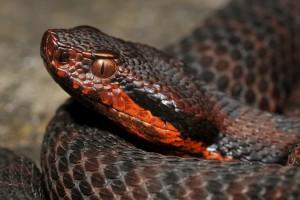 Les reptiles de l'Intyamon