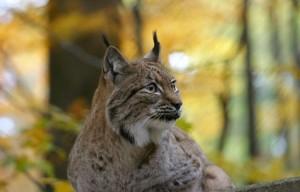 Tieranlage Luchs - © Wildnispark Zürich