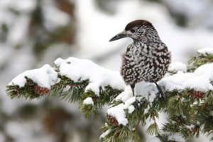 Vögel am Futterbrett Bergün