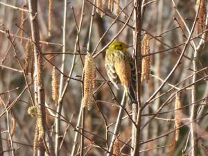 AUSGEBUCHT: Vogelexkursion: Lebensraum Hecke - © Luzia Zust