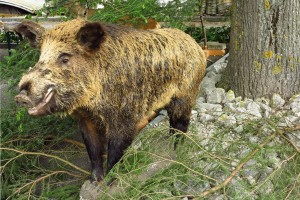 Wildschweine - © Jurapark Aargau