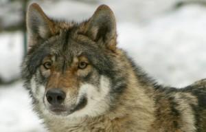 Tieranlage Wolf - © Wildnispark Zürich