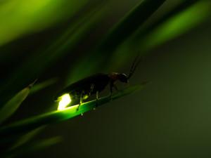 Glühwürmchen - eine Nachtexkursion - © iStockphoto/ruiruito