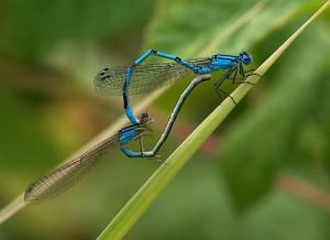 Dragonflies - © Aurèle Greiner