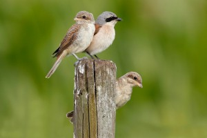 Exkursion Neuntöter mit Beobachtung der Jungvögel - © Ruedi Aeschlimann