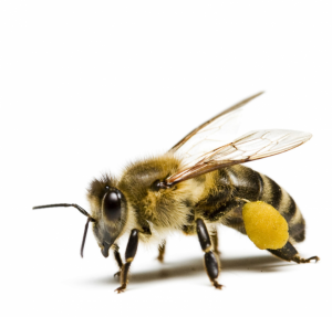 Lektionsreihe Bienen