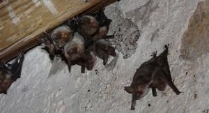 Hellikon: Fledermaus-Abend