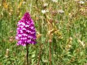 Orchideen im Thal - © Naturpark Thal
