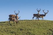 Il cervo - © SNP/Hans Lozza