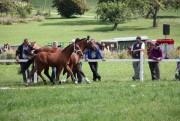 Fohlenschau Ramiswil - © Pferdezuchtgenossenschaft Falkenstein