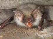 Fledermauskolonie in Balsthal - © Stiftung Fledermausschutz
